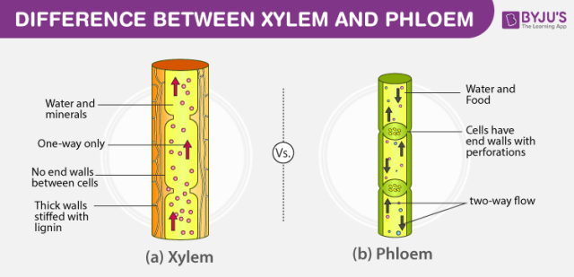 Difference-Between-Xylem-And-Phloem-2