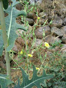 Lactuca_serriola-prickly lettuce