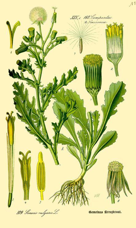 Senecio_vulgaris or Groundsel
