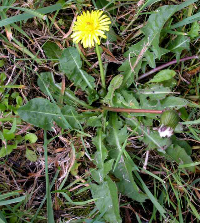 Taraxacum with leaves
