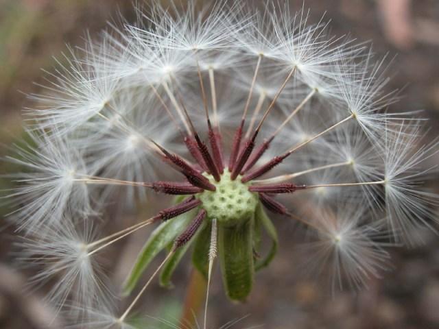 Taraxacum with seeds