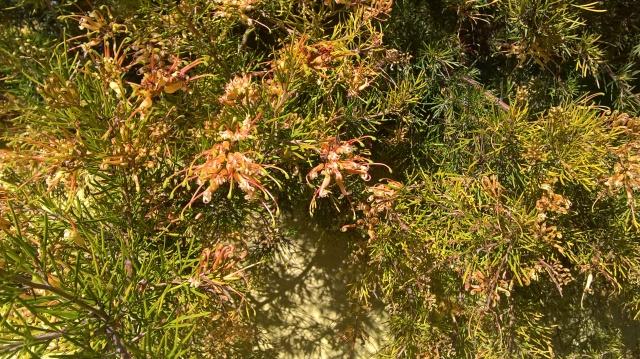 Grevillea semperflorens